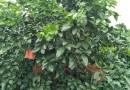 常年供应成都红心柚子树 红心柚子树出售价格