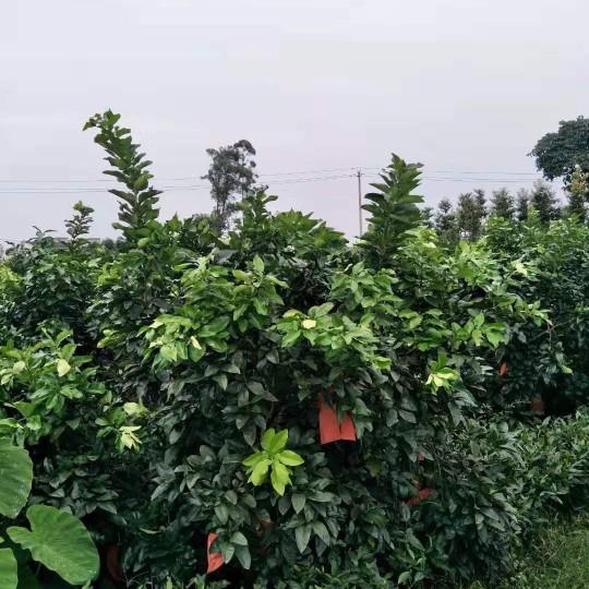 精品红心柚子树价格 精品红心柚子树常年供应