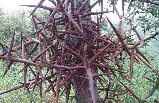 胸径8公分皂角树 急售