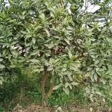 橙子树多少钱一棵 橙子树价格