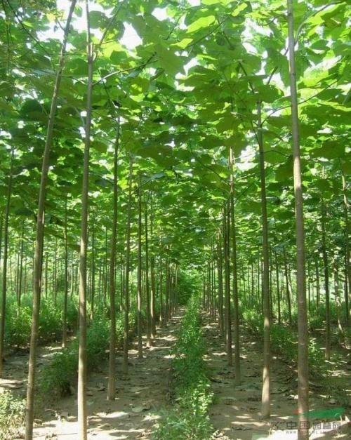 泡桐树苗哪里有卖的 2公分泡桐苗3公分泡桐苗价格