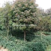 成都红叶石楠供应 红叶石楠批发基地