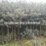 四川红叶石楠供应 红叶石楠批发销售