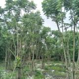 成都丛生朴树供应价格 丛生朴树基地直销