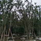 四川丛生朴树供应 丛生朴树基地直销