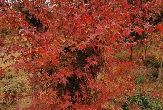 2-10公分彩叶鸡爪槭最新价格 彩叶鸡爪槭基地批发