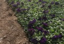 矮牵牛花苗批发 白色紫色红色矮牵牛花苗基地批发