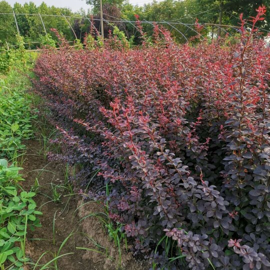 高40公分红叶小檗价格 红叶小檗小苗批发销售