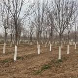 陕西七叶树价格 精品七叶树种植基地