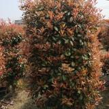 红叶石楠柱高度200 冠幅100 基地低价出售