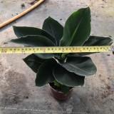 香蕉树苗在哪里买 140型盆栽香蕉树苗价格