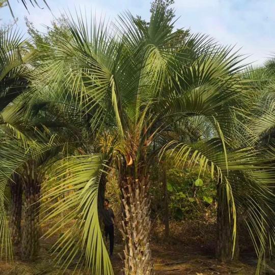 2米高布迪椰子价格 布迪椰子供应