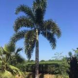 4米高狐尾椰子价格 狐尾椰子供应
