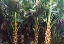 4米蒲葵价格 福建蒲葵种植基地