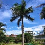 6米大王椰子价格