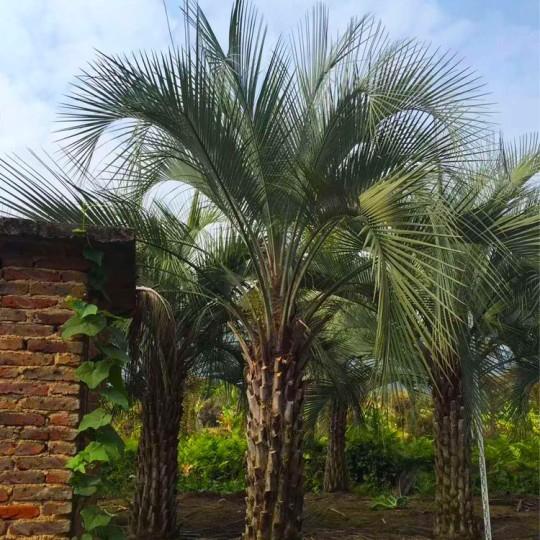 1.5米布迪椰子价格  布迪椰子基地