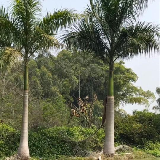 7米大王椰子价格 大王椰子批发报价
