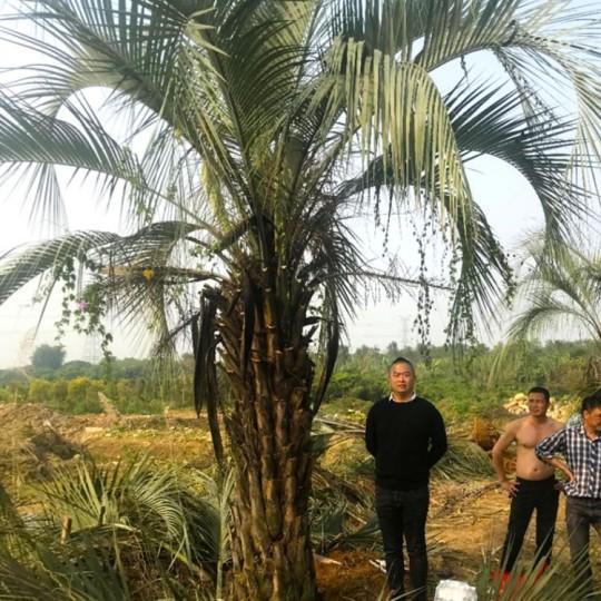 2.5米高布迪椰子价格 布迪椰子基地批发