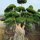 3米造型小叶榕桩头价格 福建漳州小叶榕价格
