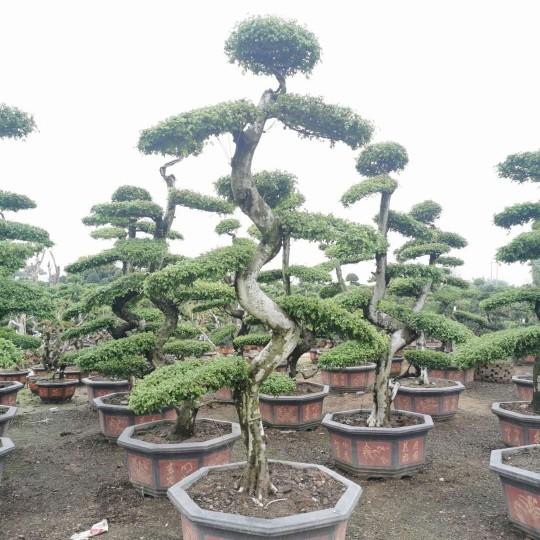 3米造型榆树桩价格 福建榆树桩基地直销