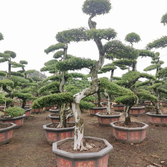 2.5米造型榆树桩价格 福建榆树桩批发