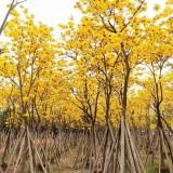 10公分多花黄花风铃木价格 福建风铃木种植基地