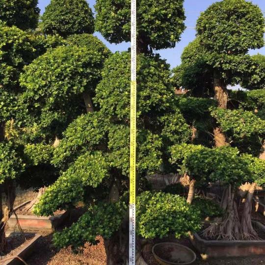 2米造型小叶榕桩头价格 福建榕树盆景基地