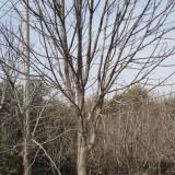20公分七叶树价格 江苏七叶树种植基地