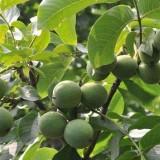 核桃树苗哪里有售 陕西核桃树出售