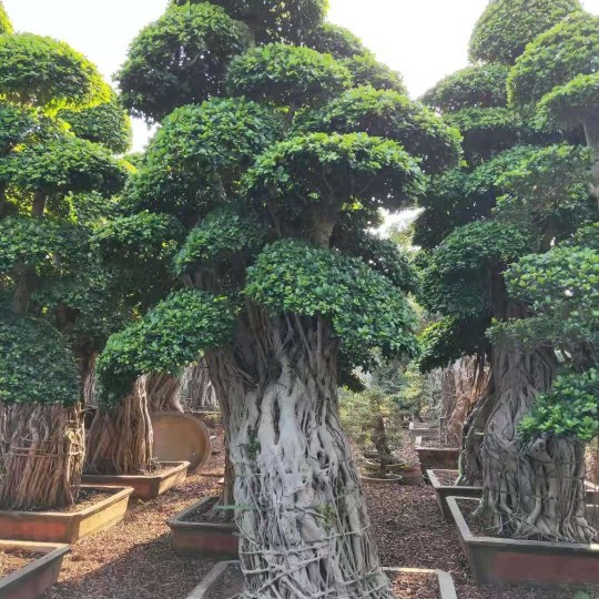 5米造型小叶榕桩头价格 福建漳州榕树种植基地