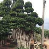 6米造型小叶榕桩头价格 福建漳州小叶榕树种植基地