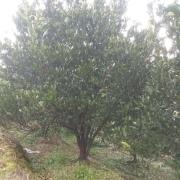 丛生胡柚树价格 丛生胡柚树批发采购