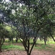 丛生胡柚树价格 丛生胡柚树基地直销