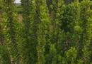 80公分瓜子黄杨球 江苏黄杨球基地