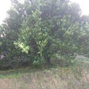 丛生柚子树多少钱一颗 浙江丛生胡柚树价格