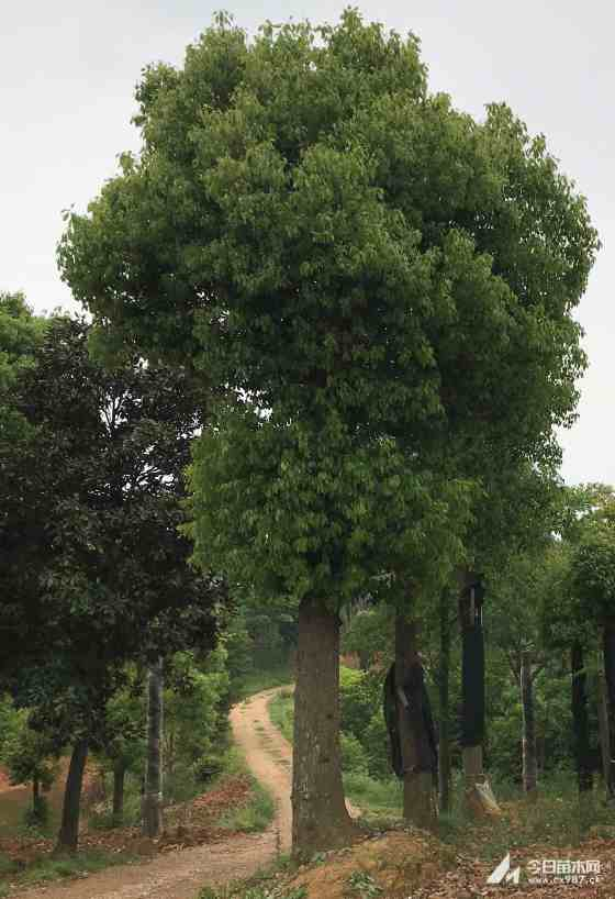 30公分移植香樟价格 移植香樟基地批发