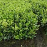 高40公分海桐粗壮色块小苗价格 海桐小苗苗圃直销