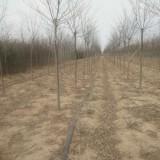 8公分榉树价格 榉树多少钱一棵