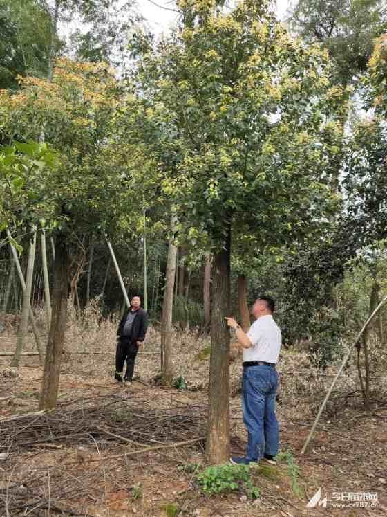 湖南切杆香樟多少钱一棵 长沙香樟树基地批发