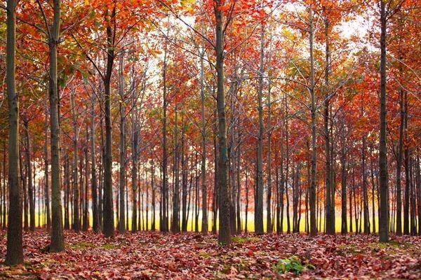 7公分美国红橡树价格 美国红橡树基地批发