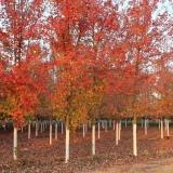 美国红枫 美国红枫基地 秋火焰 规格齐全