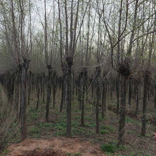 8公分榆树价格 江苏榆树基地