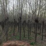 5公分榆树价格 江苏榆树基地
