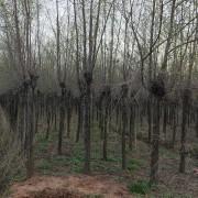 14公分榆树价格 江苏榆树基地