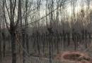 12公分榆树行情价格 江苏榆树基地