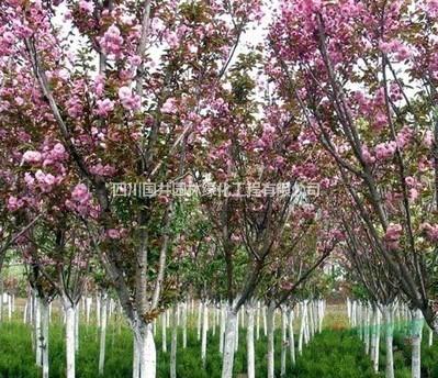 四川成都樱花供应价格 樱花种植基地