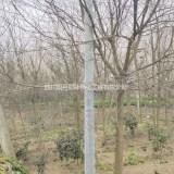 四川精品皂角价格 皂角种植基地