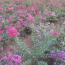 100公分高日本矮紫薇价格 江苏日本矮紫薇基地