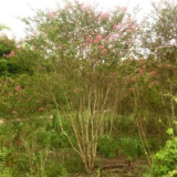 300公分高丛生紫薇价格 江苏丛生紫薇基地