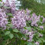3公分紫丁香价格 江苏紫丁香基地